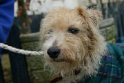 Pic22-jack_russell_cross_rescue_tammy_corky
