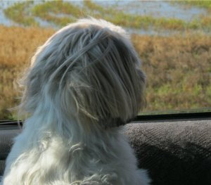 Tilly Tot watching out car window. (Photo credit: Laurie Hamilton)