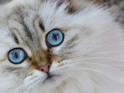 Siberian cat - beautiful blue eyes! (Photo credit:  Willem Siers | Freedigitalphotos.net - http://www.freedigitalphotos.net/images/Cats_g129-Siberian_Cat_p90321.html)