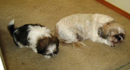 Marietta Burton's shih tzu Moose and our Tilly Tot - synchronized snoozing.  (Photo credit:  Sandra Bell Kirchman)