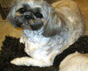 Predominantly brown dog - Hefty Oreo