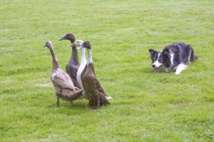 (Bandit) herding geese.  (Photo credit:  Rosemary Ratcliff | Freedigitalphotos.com